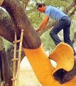 Cork Oak Tree Bark