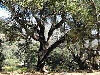 Cork Oak Tree (Quercus Suber)